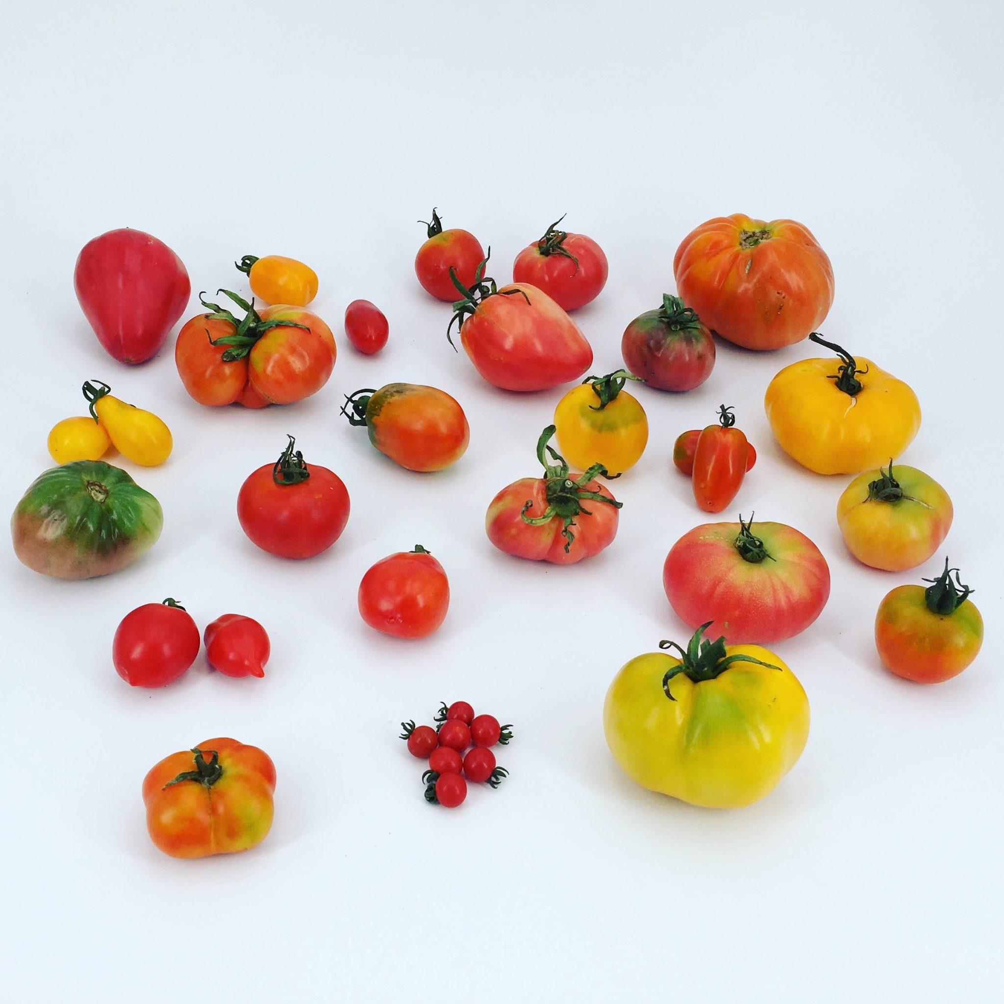 FESTOM, la fiesta del tomate y la ciencia